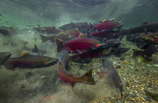 Wild Portraits: Salmon through the Artist's Eye