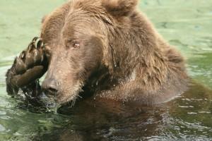 Grizzly Bear. Photo by Chris Morgan