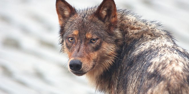 The Rewilding of the North Cascades: A Tale of Gray Wolves and Grizzly Bears