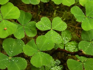 Oregon wood sorrel. Photo by Jennifer Johnson