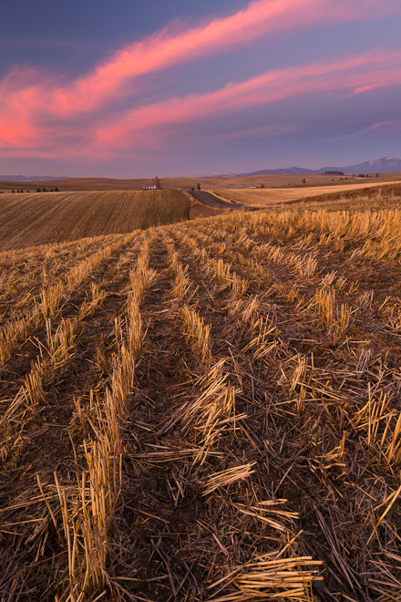 A wheat field takes on the pink hue of dusk in eastern Washington's Palouse. Photo by Aaron Theisen