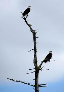 Eagles on Semiahmoo Spit. Photo by Aubrey Laurence