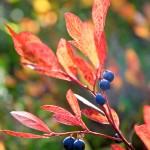 Blueberries, Heather Meadows