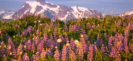 The Wildflower Gardens of Skyline Divide