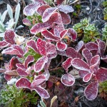 Autumn foliage laced with morning frost