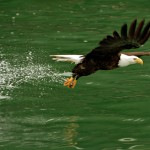 Adventures_NW_Skagit_Eagles-
