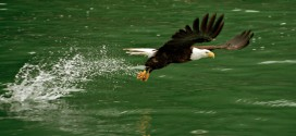 Along the Skagit: A Winter Gathering of Eagles