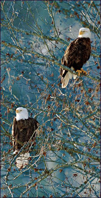 Adventures_NW_Skagit_Eagles--2-2