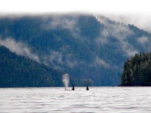 Big daddy orcas frolicking in Windham Bay, AK