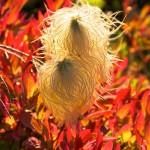 Western Anemone