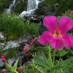 Pink Monkey Flower, Ptarmigan Traverse