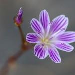 Columbia Lewisia,  Enchantments,
