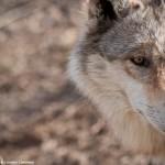 Wolf Eyes 3