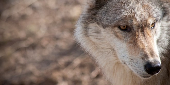 Dispatch From The Field: A Hiker's Guide To Wolf Sign And Climate Change