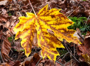 Fallen Maple leaf, Matia Island