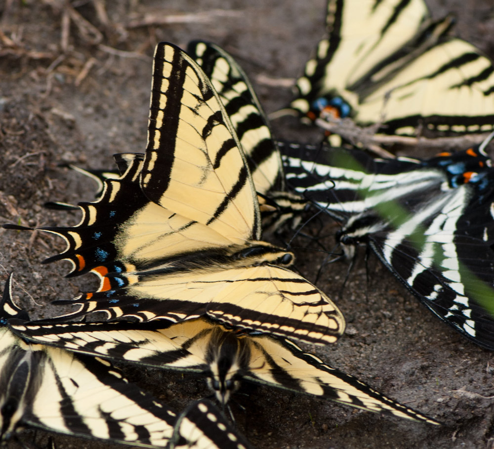 A Tiger Swallowtail puddle party: Pale, Two-Tailed, and Western Tigers, tippling at the edge of a swamp in the Okanogan Highlands. These mud-puddle clubs (or butterfly pubs) are comprised entirely of males, sucking mineral salts dissolved in the mud. Both females and males visit flowers, scat, and carrion. Photo by Caitlin LaBar/northwestbutterflies.blogspot.com