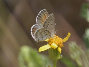 A female Shasta Blue on the summit of Steens Mountain. Named for Mt. Shasta, this tiny gem occurs on various other high western redoubts as well, where it clings tightly to stone or flower and flies close to the ground, in order to manage the stiff winds. The male is brighter blue, while females are brassy-winged with just a flicker of blue scales. If the alpine sun catches them just right, you might see bright blue-green sparkles around the underside. Photo by John Lane