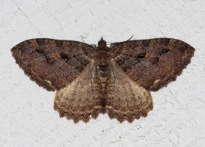 The highly variable Tissue Moth lives in Northwest forests in the summer, where its larvae feed on vine maple and other trees. In winter it hibernates in caves, houses, and other shelters, sometimes in great masses. Because of its size and wafty flight, it is sometimes taken for a winter butterfly. Photo by Jim Johnson