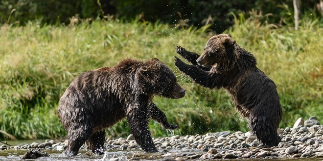 The Bears of Bella Coola