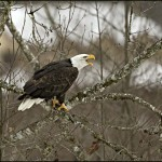 adventures_nw_skagit_river_eagles_featured