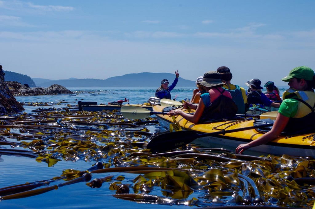 Learning about Bullwhip Kelp in a back eddie off Cypress Island. Photo by Kristi Kucera/Moondance Sea Kayak Adventures