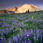Mount Rainier 14,411ft (4,392m) from wildflower meadows of Yakima Park, Mount Rainier National Park.