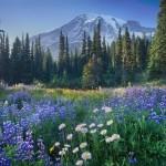 Mount Rainier 14,411ft (4,392m) from wildflower meadows of Paradise, Mount Rainier National Park.