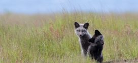 The Foxes of San Juan Island