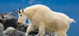 The Olympic Mountain Goats: End of an Era